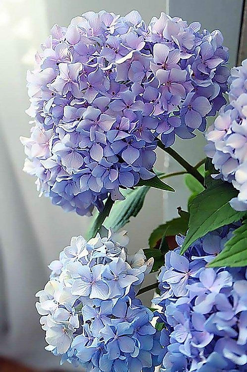 Paint by Numbers Kit - Happily Hydrangea