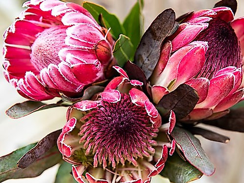 Paint by Numbers Kit - Pretty Protea