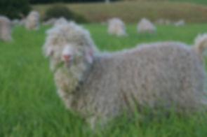 Chèvre Angora Mohair du Velay
