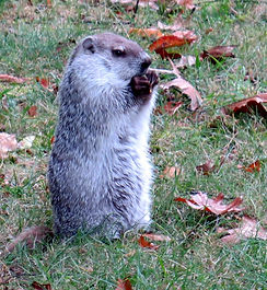 Silver coated woodchuck showing off fine leather gloves
