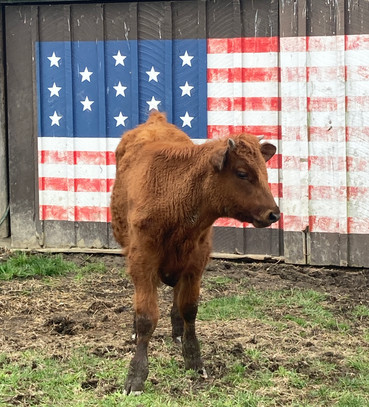 Young bovine in Clinton