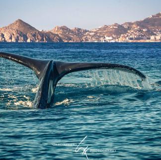 Ballena Cabo San Lucas Garciaferro.jpg