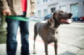 Dog Walker Harlow