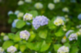 Hydrangea flowers in Imoriyama Park.