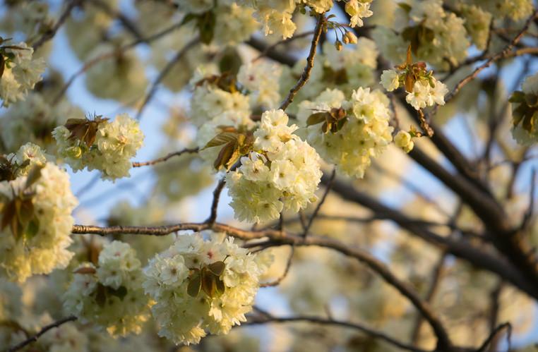 The sakura flowers during the spring.