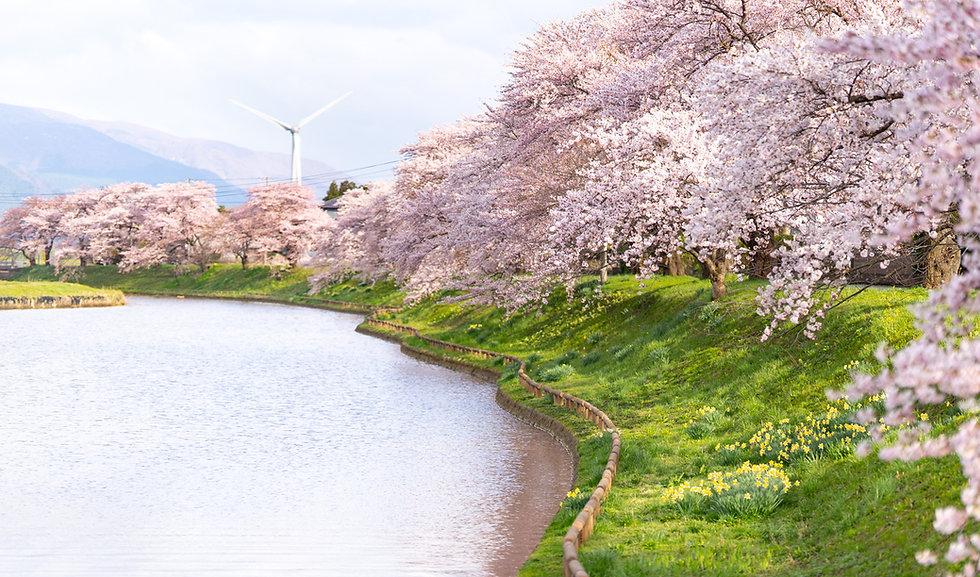 Shonai Sakura