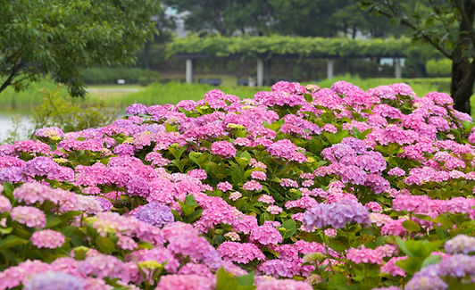 Hydrangea flowers at Ken Domon in the summer.