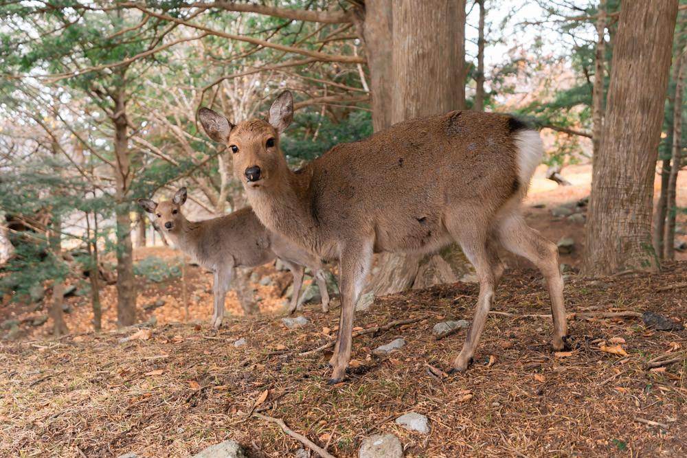 Kinkasan deer