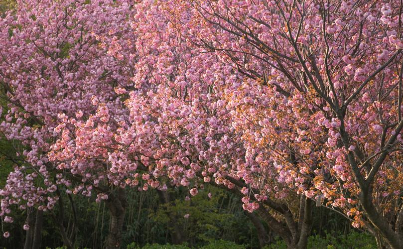 The brilliant display of sakura in the spring.