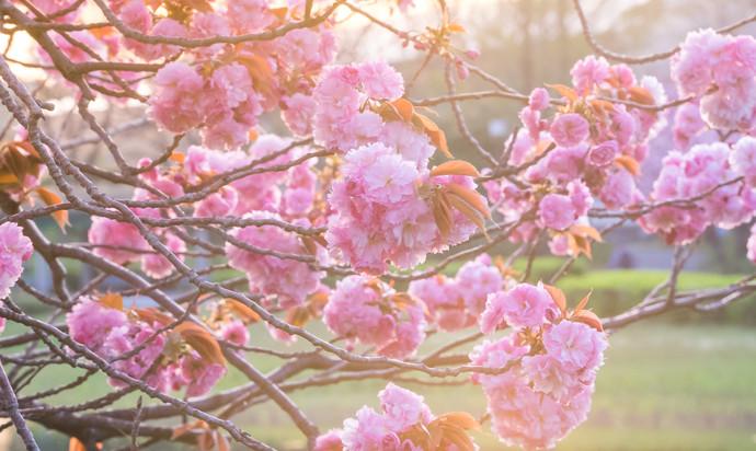 Pink sakura during sunset.
