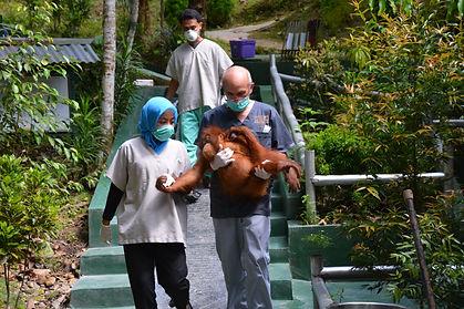 OVAID's CEO Nigel Hicks carries an orangutan to the clinic at Sumatran Orangutan Conservation Programme in Nth Sumatra