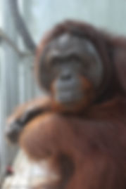 One of the male orangutan at International Animal Rescue where OVAID works