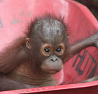 Temon is a baby orangutan that OVAID team members work with at IAR's rescue centre in Kalimantan