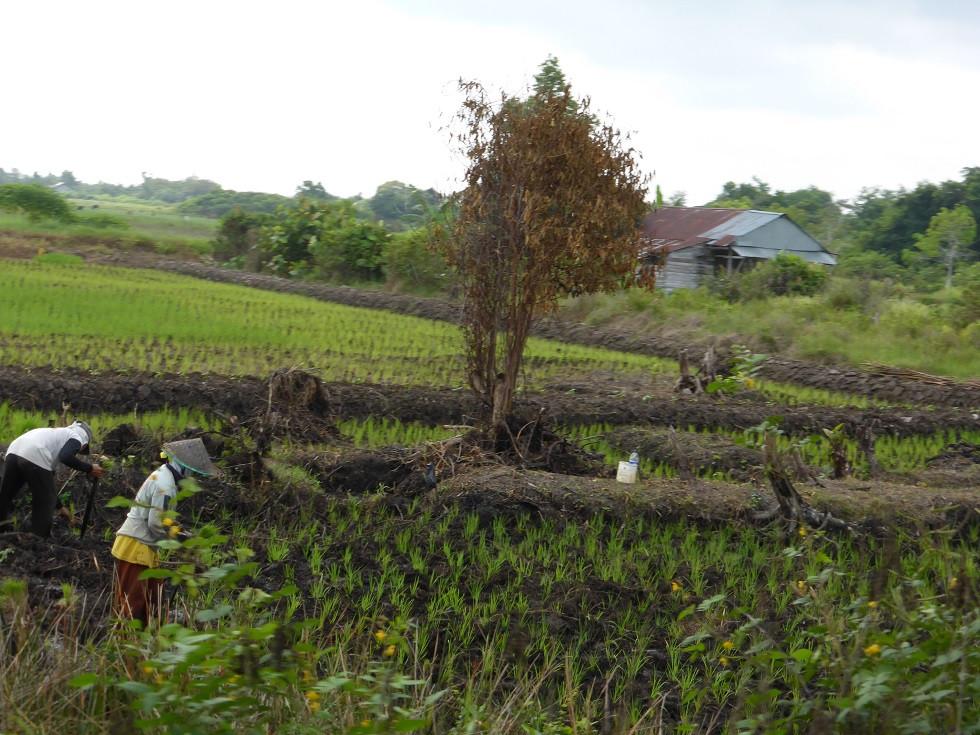 Rice padi.jpg