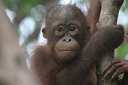 Bonita is one of the orangutan OVAID team members work with at IAR's rescue centre in Ketapang