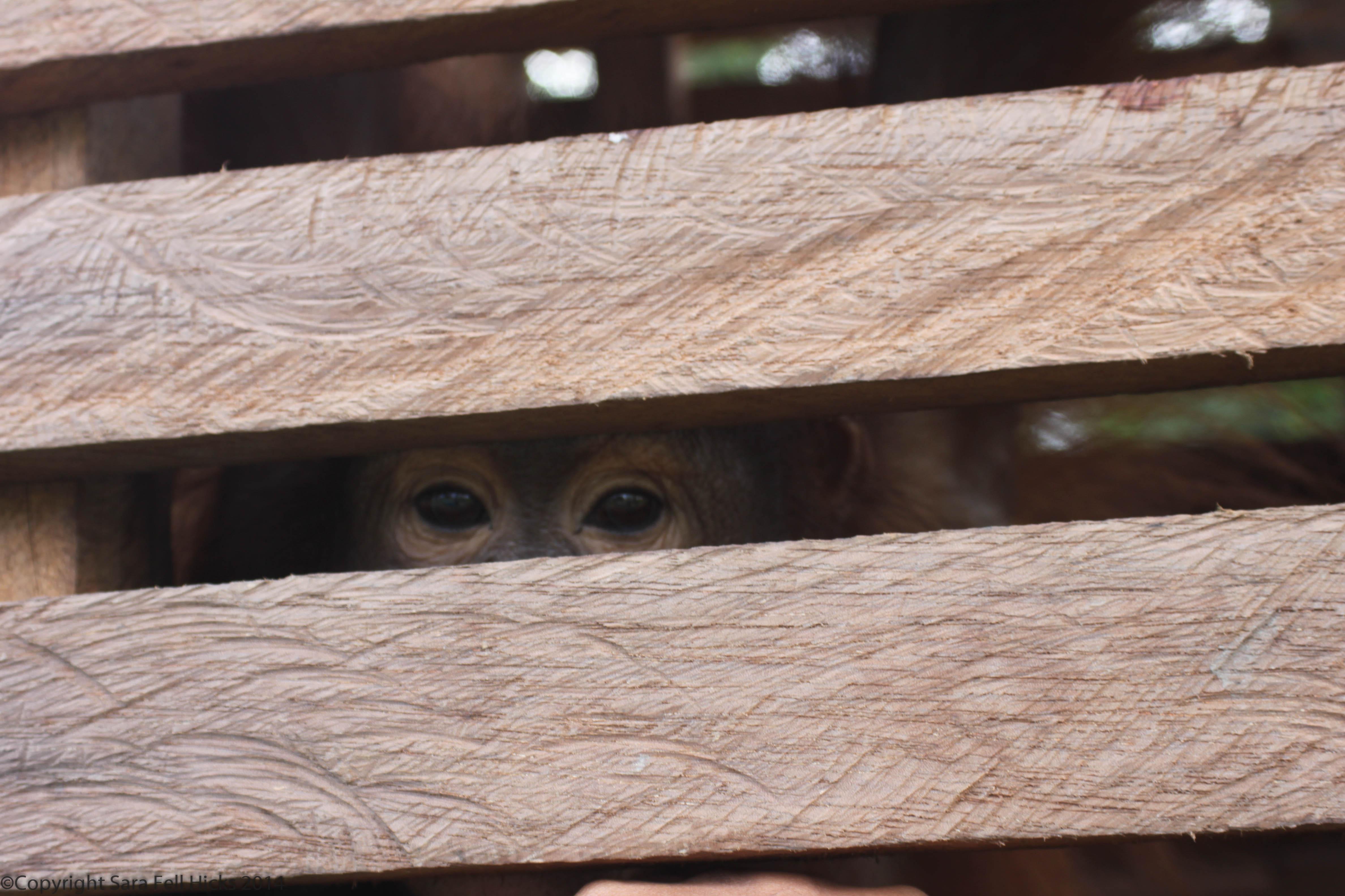 Rescued orangutan