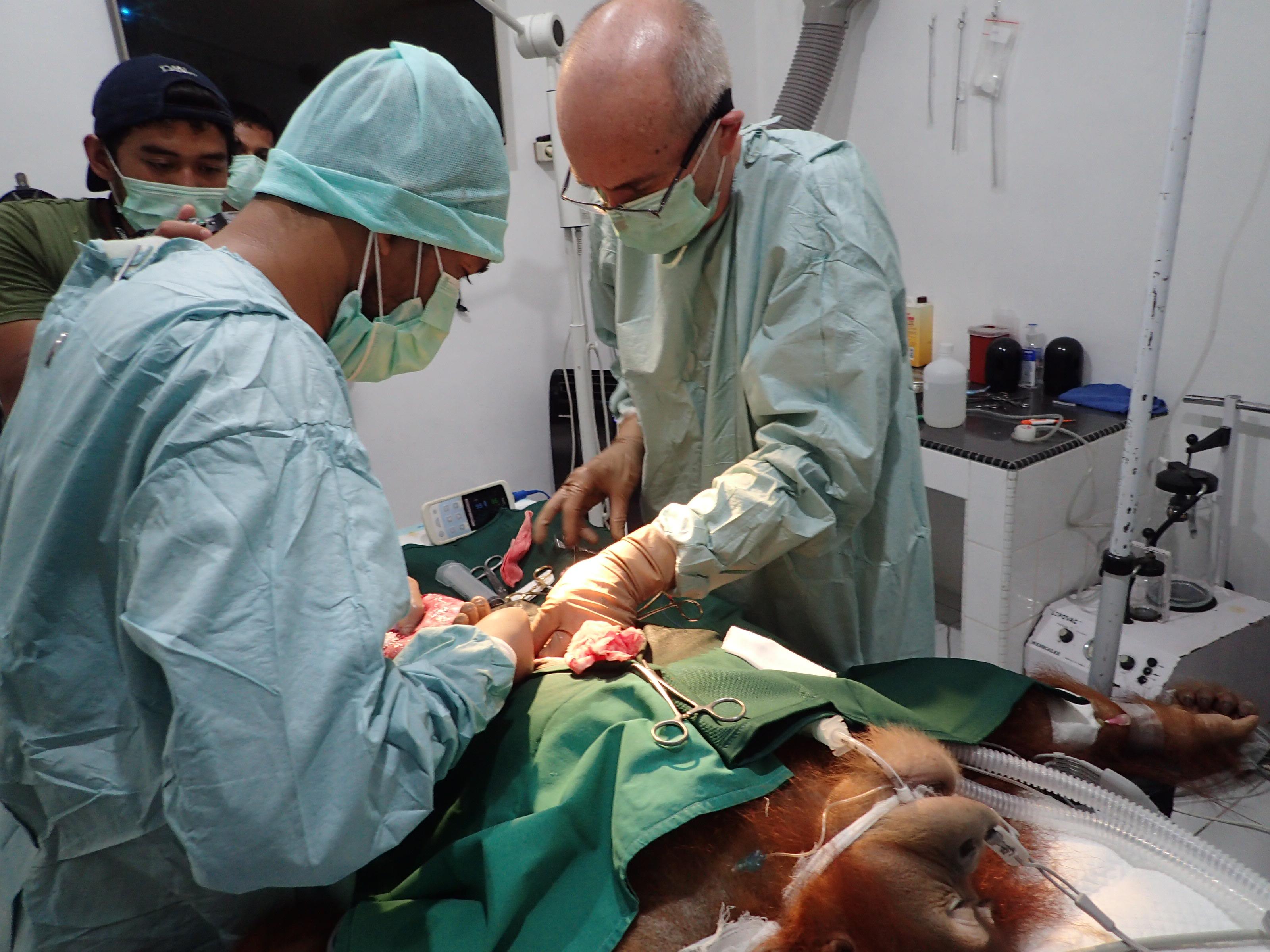 Orangutan Surgery