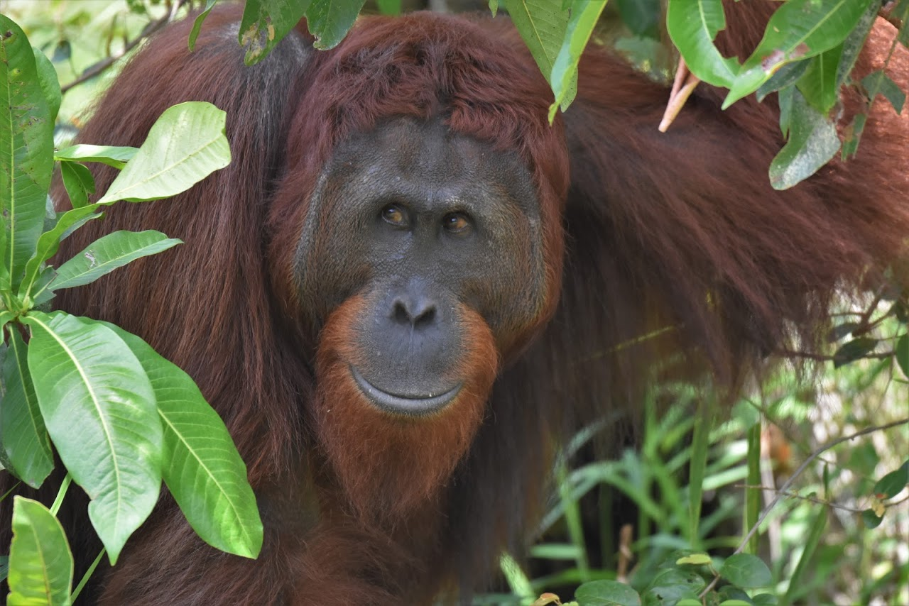 Inquisitive Orangutan