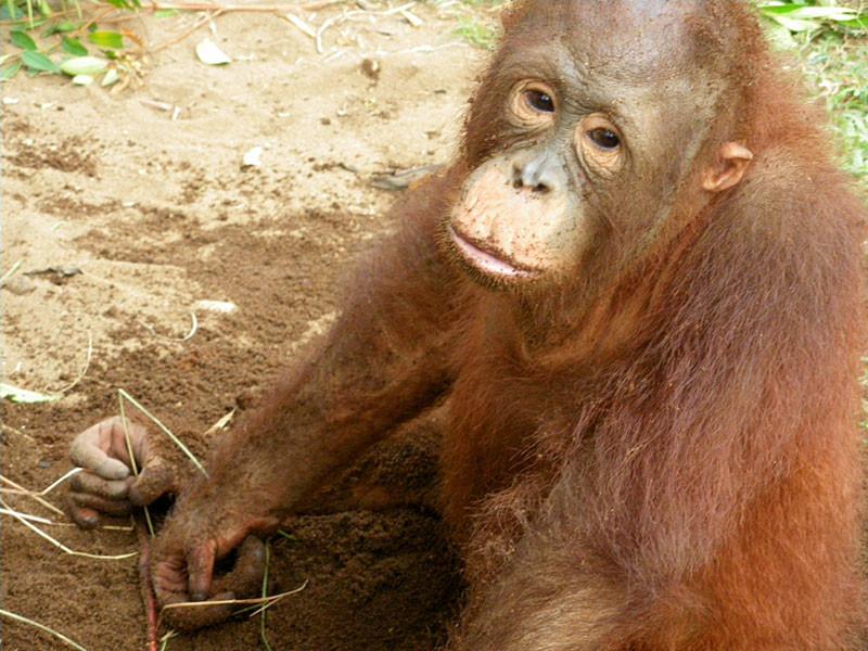 melky-young-orangutan.jpg