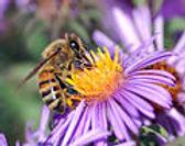 120px-European_honey_bee_extracts_nectar