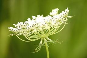 fleur_de_carotte_sauvage___cbf91ae2aafbe