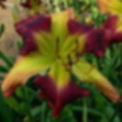 TrueNorth day lilies