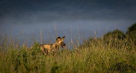 wild dog st lucia.jpg