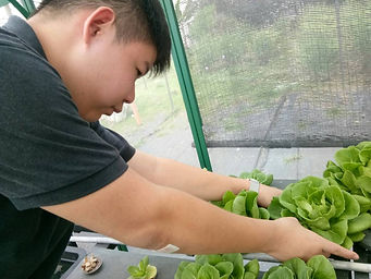 Growing lettuce at House of Light
