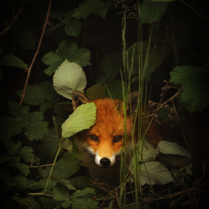 Alex Johnson,  Mr Fox SOLD