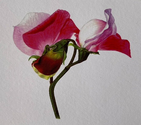 Red Sweet Pea Card
