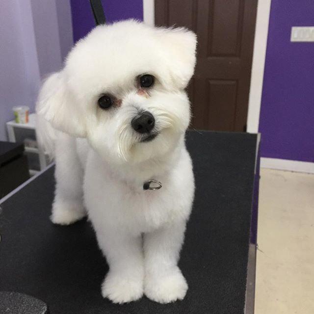 Pomeranian, Bichon, Toy/Mini Poodle