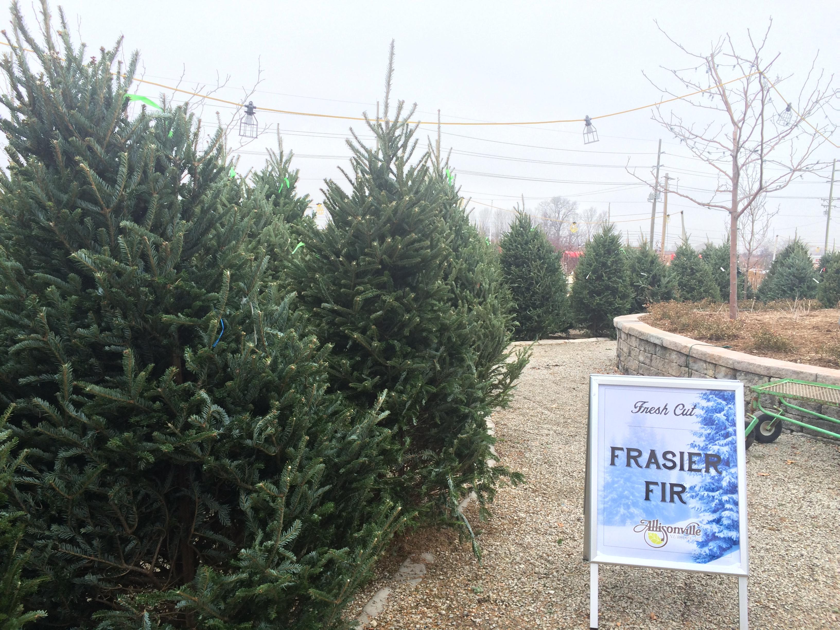 Fresh Cut Fraser Fir Trees
