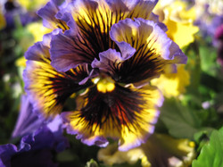 A Colorful and Frilly Pansy