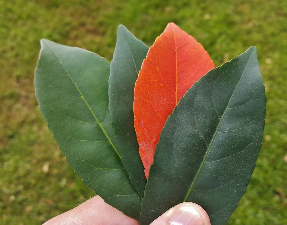 An orange color leaf among green ones.