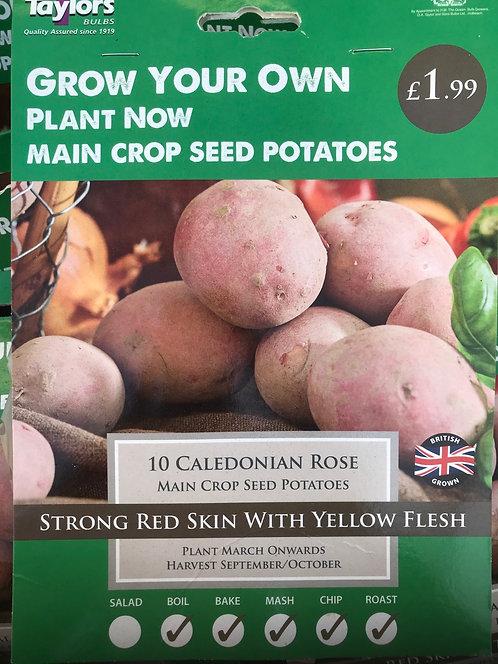 "Seed Potato ""Caledonian"" (10)"