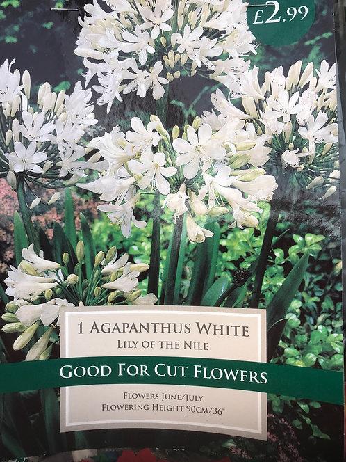"Agapanthus ""White"""