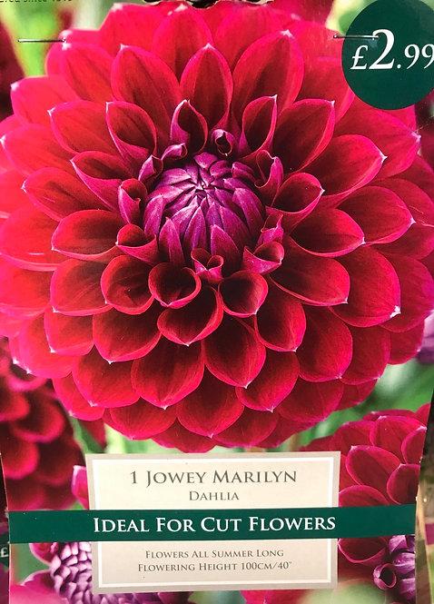 """Dahlia """"Jowey Marilyn"""""""