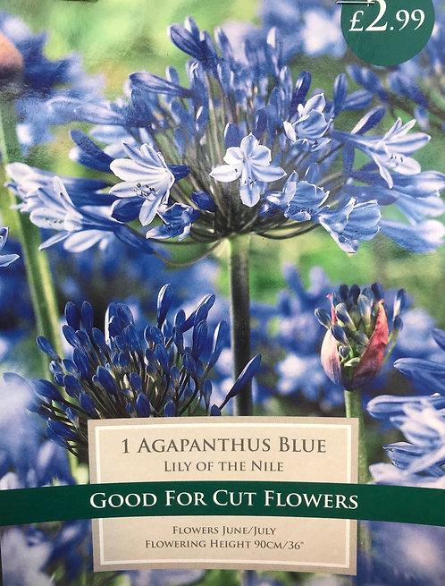 "Agapanthus ""Blue"""