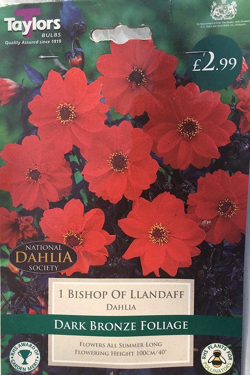 Dahlia 'Bishop of Llandaff'