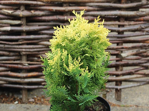 Cham. lawsoniana Pygmaea Argentea 1.5L