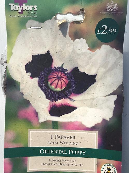 Oriental Poppy 'Papaver'