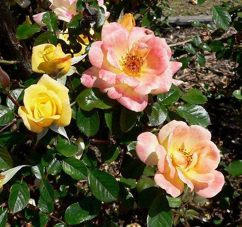 Laura Ford Climbing Rose 'Amber/Yellow' 4L
