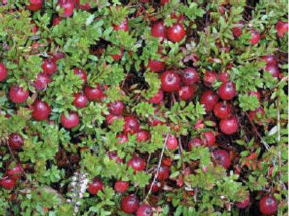 Cranberry 'Pilgrim' 3l