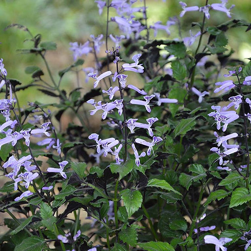 Plectranthus 'Mono Lavender'