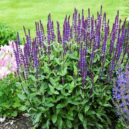 Salvia Nemerosa 'Caradonna'