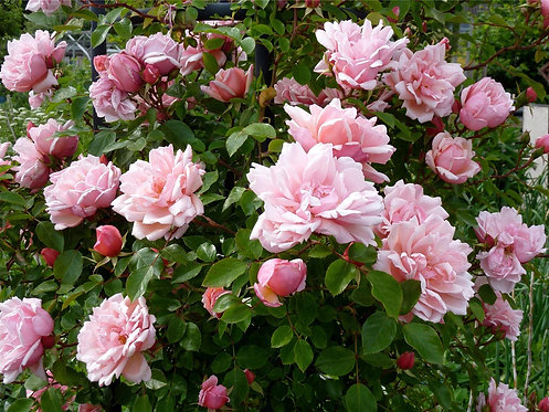 Albertine Rambling Rose ' Salmon Pink' 4L