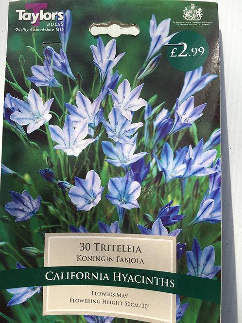 Hyacinths 'Tritelleia'