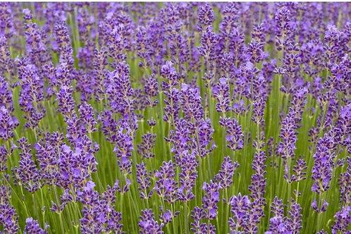 Lavender 'Munstead' 10cm