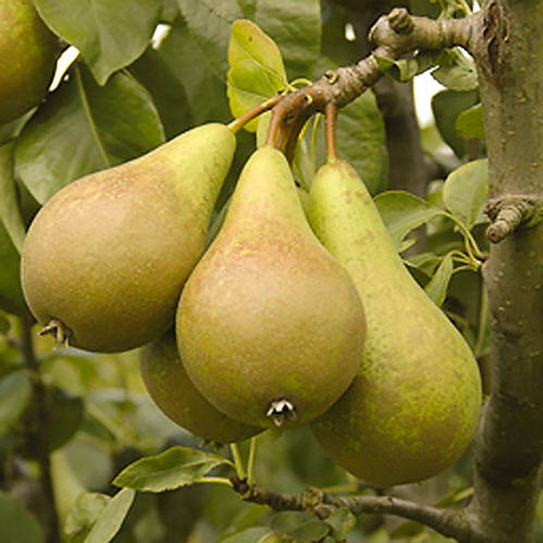 Conference Pear 3l