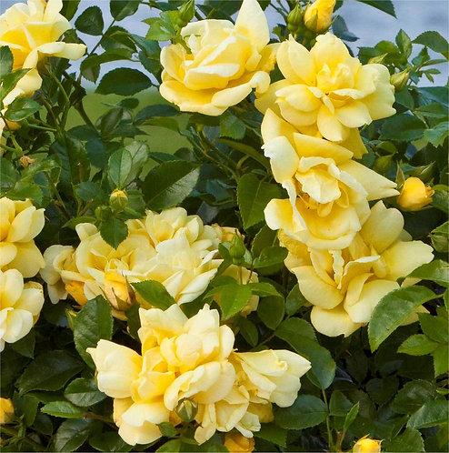 Flower Carpet Rose 'Gold' 3L